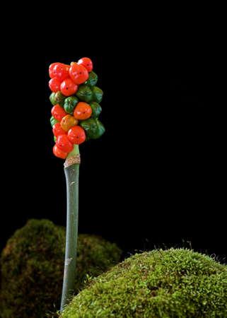 Berries of Arum maculatum, also known as Cuckoo-Pint photo