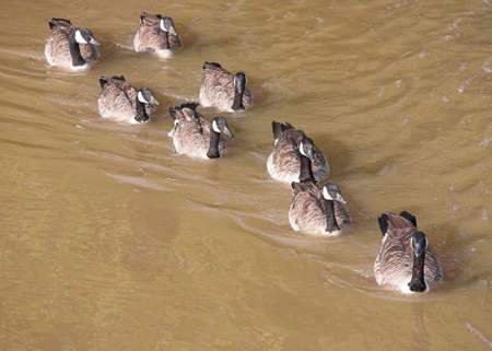 branta: Canada Geese - Branta canadensis - swimming in a line. Stock Photo