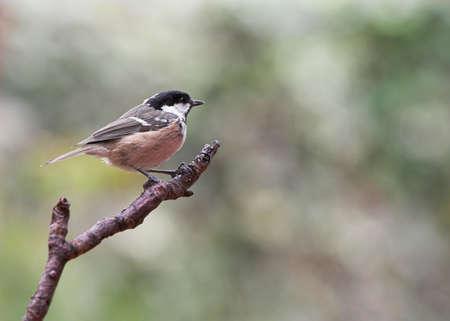 Garden Bird - Coal Tit - Parus ater