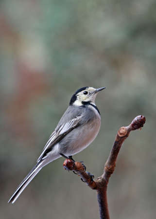 A Pied Wagtail - Motacilla alba - perched on a Horse Chestnut branch.