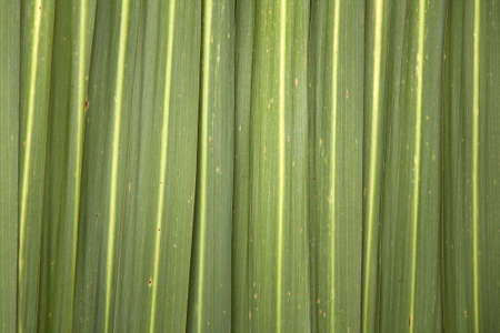 new zealand flax: Phormium (New Zealand flax) leaves making a natural green striped background. Stock Photo