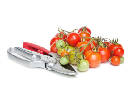 Some freshly harvested tomatoes and a pair of secateurs Stock Photo - 7790125