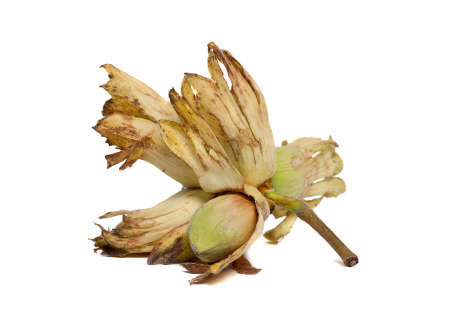 cobnut: A hazelnut - also known as cobnut or filbert - variety Kent Cob - on a white background