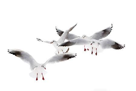 Black-headed gulls in winter plumage Stock Photo