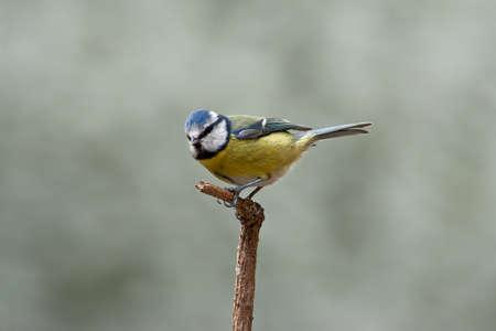 cyanistes: A blue tit, Cyanistes caeruleus - perched on a twig.