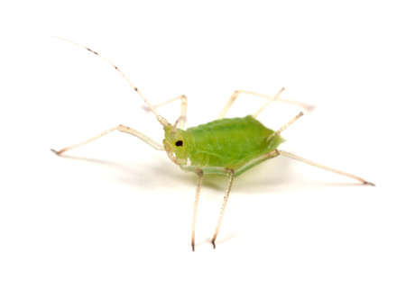 aphid: Greenfly or Aphid on white - wingless form