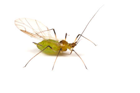 aphid: A greenfly or aphid on white - winged form