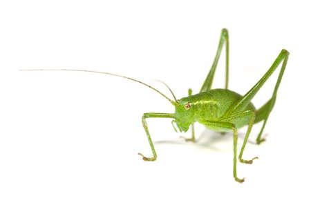 A Speckled Bush Cricket, Leptophyes, punctatissima - on a white background. photo