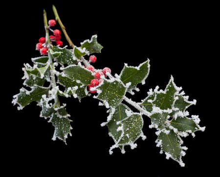 hoar frost: Holly leaves and berries covered with frost