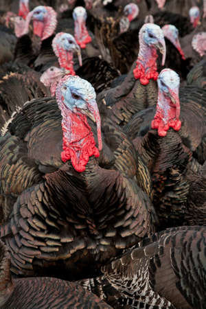 Free-range bronze turkeys ready for Christmas or Thanksgiving