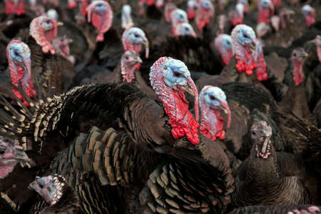 Free-range bronze turkeys ready for Thanksgiving or Christmas