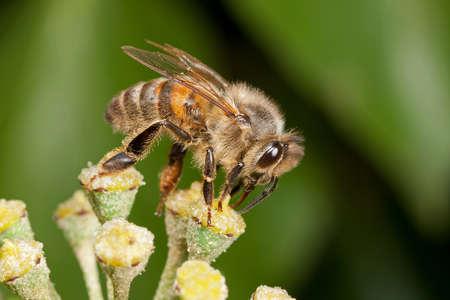 Honingbij - Apis mellifera - op een klimop bloem