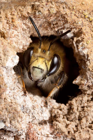 pollinator: Male Hairy-footed Flower Bee - Anthophora plumipes - in a Nest Burrow Stock Photo