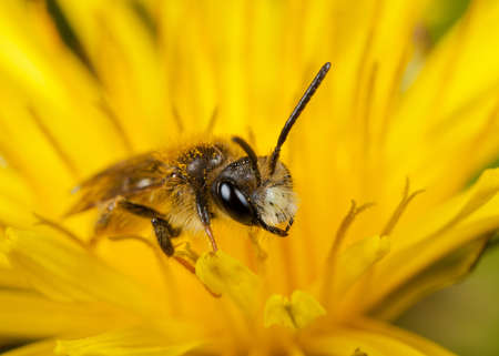 pollinator: A male Mining Bee - Andrena chrysosceles in a Dandelion Flower Stock Photo