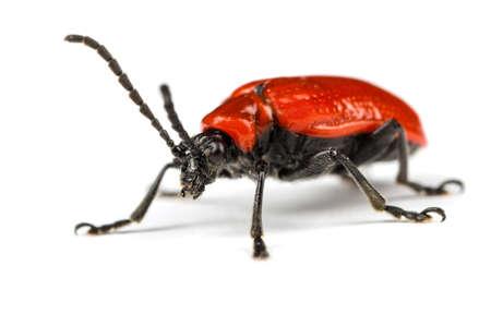 escarabajo: Escarlata Lily Escarabajo