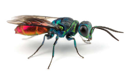 Ruby-tailed Wasp photo