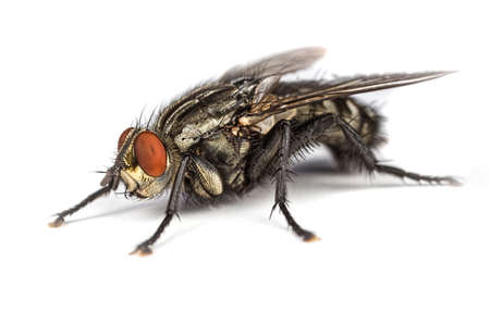 Sarcophaga Flesh Fly