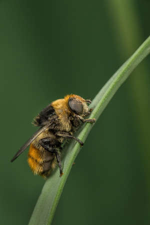 mimicry: A recently-emerged fmale Narcissus Fly - Merodon equestris - on a plant stem. This fly is a bumblebee mimic.