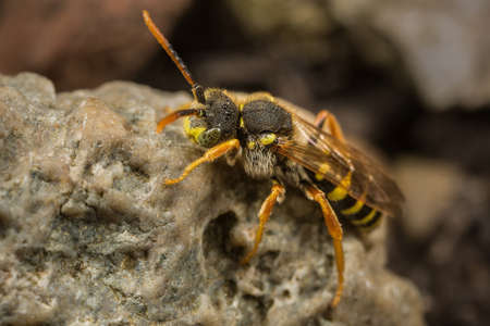 A male Nomada goodeniana cuckoo bee resting on a rock. Stock Photo