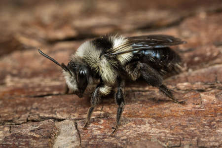 A female Ashy Mining-bee - Andrena cineraria - on a piece of bark. Stock Photo