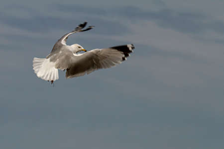 Isolated image of a Ring-Billed Gull (Larus delawarensis) in flight. It is a common seagull seen in USA characterized by the black ring like pattern around its beak. Image represents 'free as a bird' Banco de Imagens