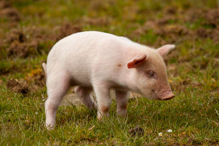 Close up image of a cute pink piglet grazing on a meadow. This is an isolated image showing the pretty baby pig on the grass against blurred background. Image was taken at a farm in Cornwall 版權商用圖片