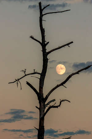 Isolated close up image of a  backlit dead tree trunk with branches covered with bark but no leaves. Behind the tree, there is a red sunset sky with few clouds and the moon aligning between branches.