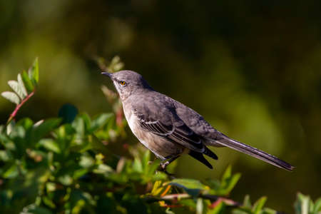 Close up isolated image of a northern mockingbird (Mimus polyglottos) perching on a tree branch. These white bellied gray bird is native to North America. It has impressive mimicking ability. 版權商用圖片
