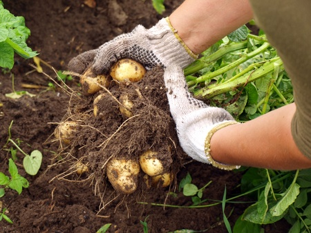 potato field: Harvesting the young potatoes in the garden