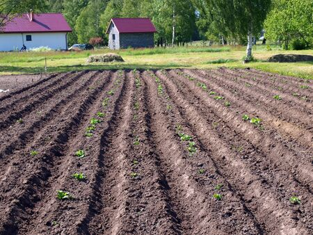 furrows: Furrows in country garden with first potato plants