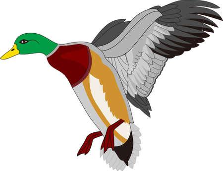 Canards colverts colorés sont un chef-d'?uvre de la nature. Nous les aimons sur des oreillers jeter ou toutes sortes de vêtements. Banque d'images - 51206485