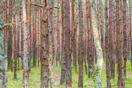 tree trunks in a coniferous forest 写真素材