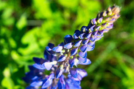 Lupines on a green meadow macro
