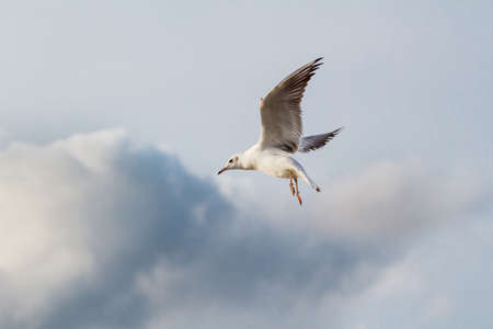 A flying seagull on the sky