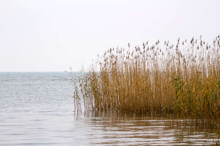 thickets of yellow reeds in the middle of the water