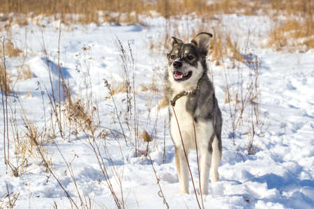 portrait of a young gray cute dog with snow on his nose