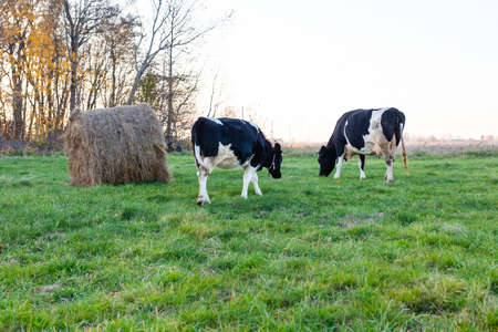 black and white cows graze on a green meadow next to a haystack