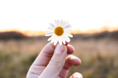 small daisy flower in hand on sunset background