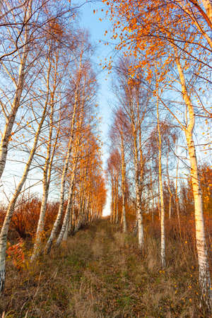 autumn birch grove of golden color at sunset Stock Photo