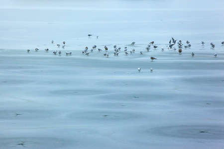 a flock of seagulls on the ice of a frozen winter lake Stockfoto