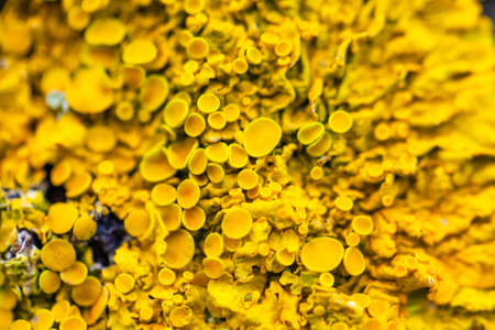 bright yellow lichen macro, background, texture