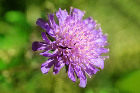 small bright purple flower on a green background, macro Stock fotó - 134718226