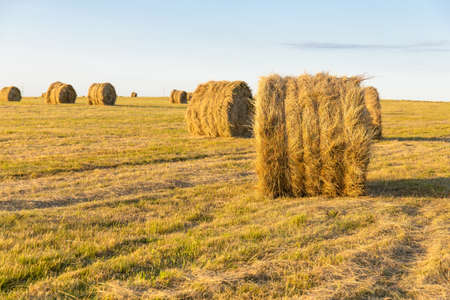 round stacks of pressed hay on the field