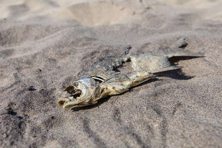 decaying fish remains in the sand