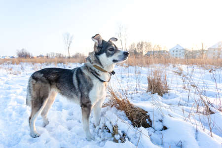 good gray dog standing in the snow on a sunny day Stock fotó - 134718929