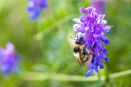 bee on a purple flower on a background of bright green Stock fotó - 134719289