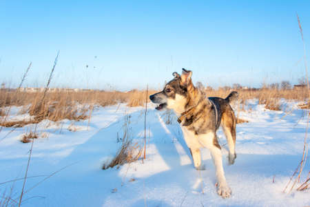 good gray dog standing in the snow on a sunny day Stock fotó - 134719351