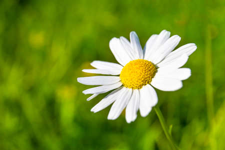 small daisy flower on green background, copy space