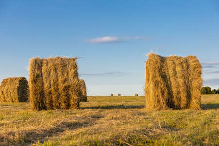 round stacks of pressed hay on the field Stock fotó - 134719493