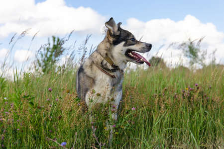 beautiful gray dog stands in a meadow among green grass
